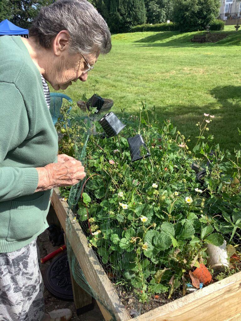 lady resident strawberry picking